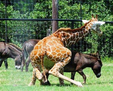 jirafa dando por culo al burro